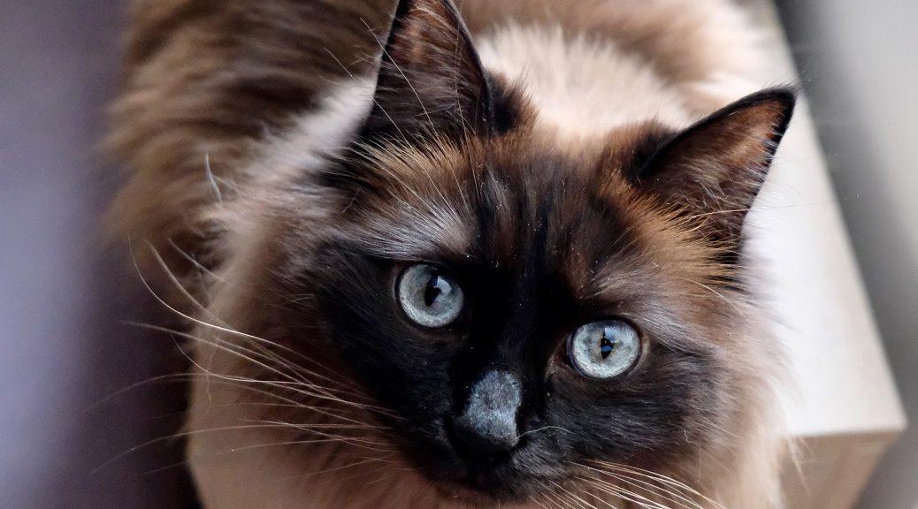 Ragdollkatze schaut in die Kamera mit großen Augen