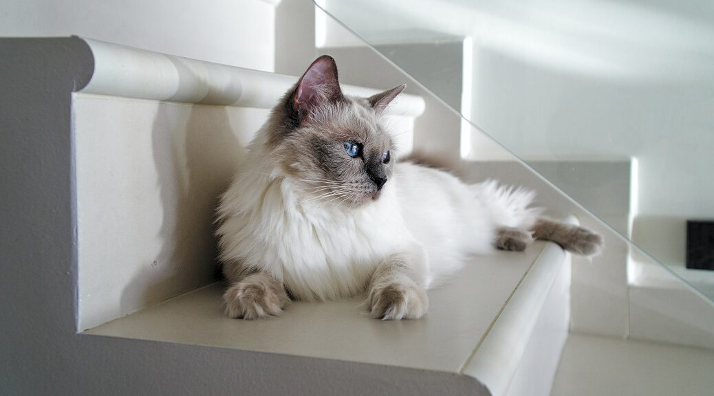Ragdoll Katze liegt auf der Treppe
