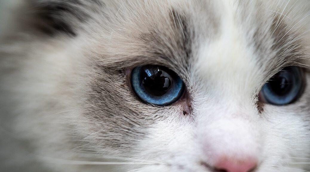 Ragdoll Katze Augen Nahaufnahme