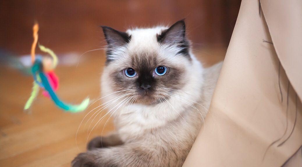 Ragdoll Katze mit Spielzeug