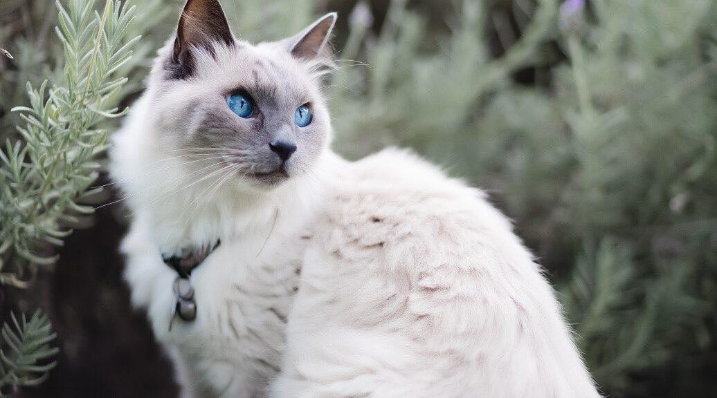 Ragdoll Katze sitzt draußen